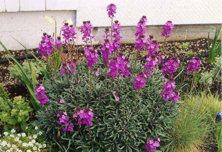 http://www.tanglycottage.com/FavouritePlants/FavouriteWebGalleryAfter/images/erysimum%20%27bowles%27%20mauve%27.jpg
